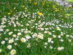 Bellis Perennis, Frühlingsgänseblümchen, Amden
