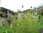 Echinacea purp. Solio